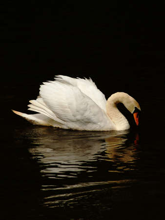 White swan with reflection on water  Stock Photo