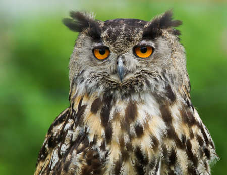 big eyes: Eurasian Eagle Owl  Bubo Bubo