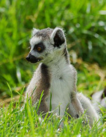 Juvenile lemur catta   Ring Tailed Lemur  photo