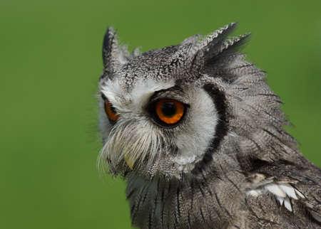 faced: Northern White Faced Owl   Ptilopsis leucotis