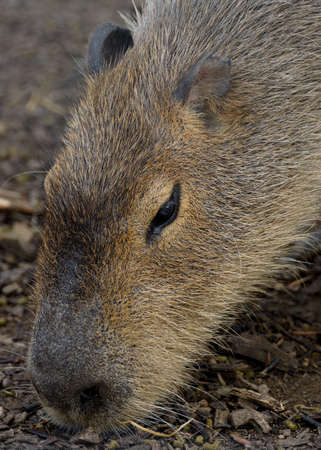 kisser: Portrait of an adult Capybara  Stock Photo