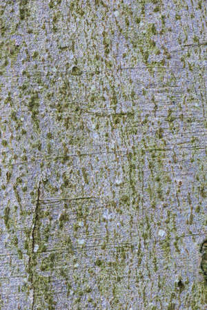 beech tree: Beech tree bark Texture Background