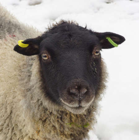 Black Face Sheep In The Snow photo