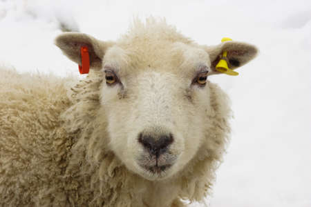 Sheep In The Snow photo
