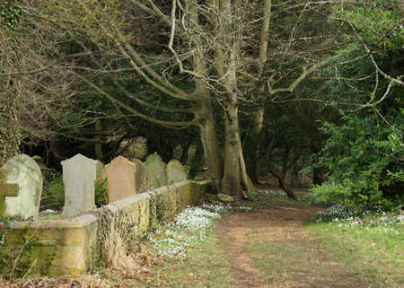 Snowdrops By A Woodland Cemetary Path photo