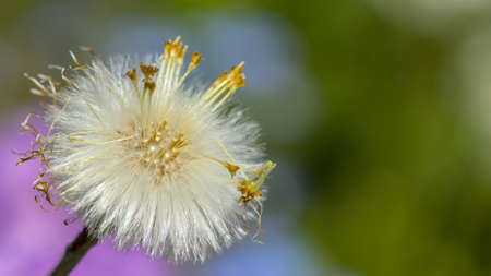 dandelion seed: Dandelion seed On A Colorful Blurred Background  Stock Photo
