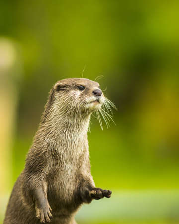 An oriental small-clawed otter