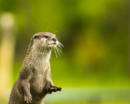 otter: An oriental small-clawed otter