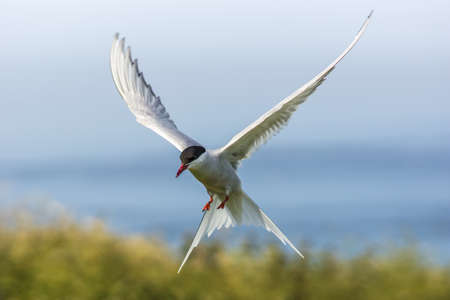 Arctic Tern   sterna paradisaea  photo