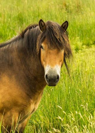 exmoor: Exmoor Pony