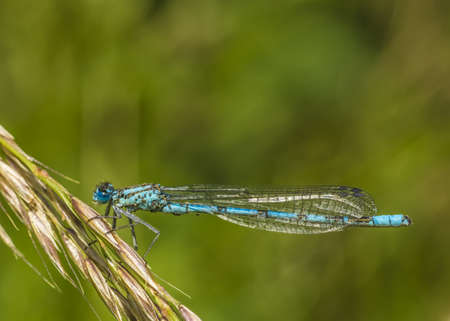 Azul damselfly photo
