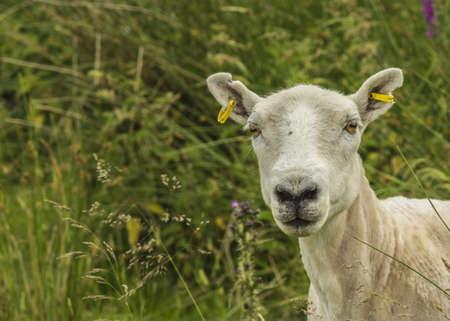 Freshly Sheared Sheep In Summer Pasture  photo