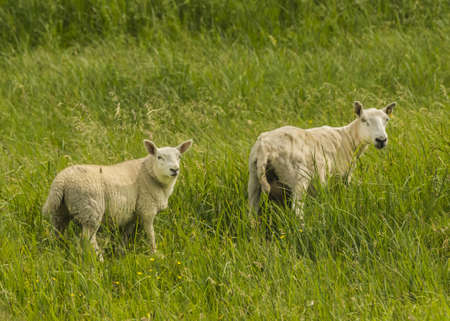 Freshly Sheared Sheep In Summer Pasture  Stok Fotoğraf