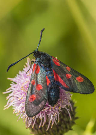 zygaena: Six spot burnet moth, Zygaena filipendula  Stock Photo