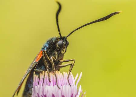 zygaena: Six spot burnet moth, Zygaena filipendula  Stock Photo