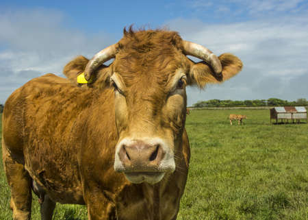 Limousin Cow In Green Pasture photo