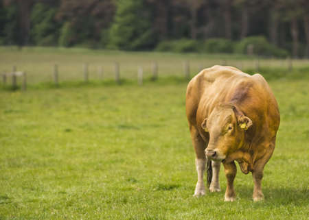 limousin: Limousin Bull