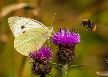 pieris: Large White Butterfly   pieris brassicae Stock Photo