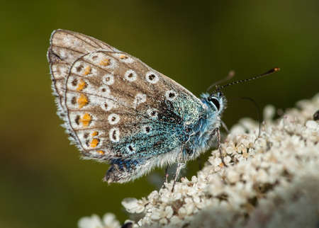 polyommatus icarus: common blue butterfly   polyommatus icarus