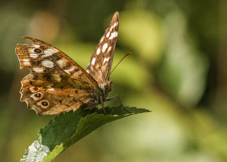 speckled wood: speckled wood  butterfly   pararge aegeria Stock Photo