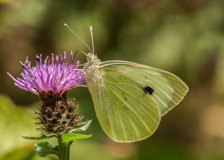 Large White Butterfly   pieris brassicae Stock Photo - 21849679