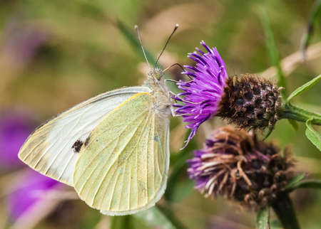 Large White Butterfly   pieris brassicae Stock Photo - 21849682