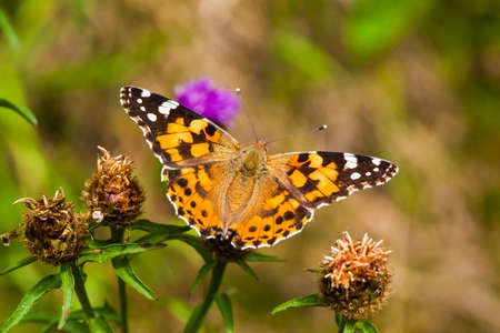 vanessa: painted lady Butterfly   vanessa cardui Stock Photo
