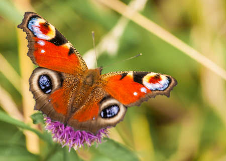 peacock butterfly: peacock butterfly Inachis io