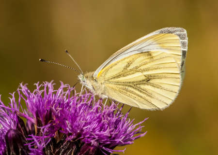 pieris: green-veined white butterfly   pieris napi