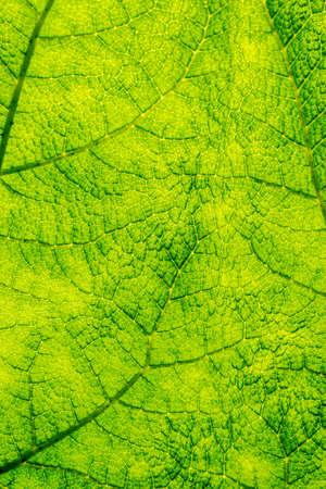 Back Lit Leaf Macro Texture  photo