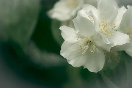 wild white cherry blossom  Prunus Cerasus  With Copy Space