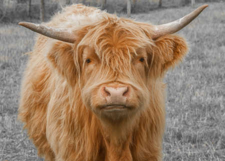 beef cattle: Highland Cattle Stock Photo