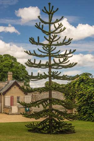 araucaria araucana    Monkey Puzzle Tree photo