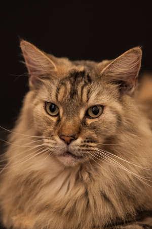 maine coon: Erwachsene Maine Coon Katze Lizenzfreie Bilder
