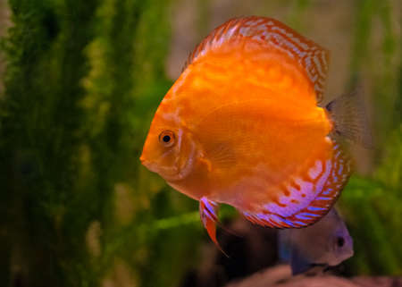 Red Discus Fish photo