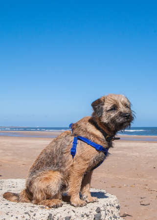 Border Terrier With Training Harness On The Beach