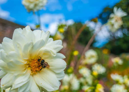 Summer Garden With Bumble Bee On A White Chrysanthemum Stock Photo