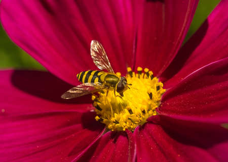 Hoverfly on a Red Flower  Stock Photo
