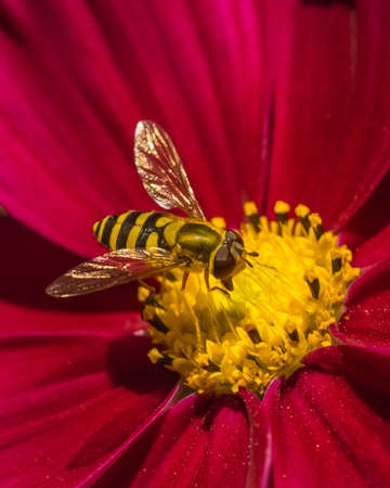 nectaring: Hoverfly on a Red Flower  Stock Photo