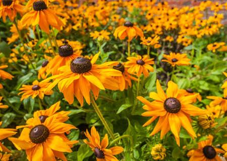 Black eyed susan Rudbeckia hirta flowers