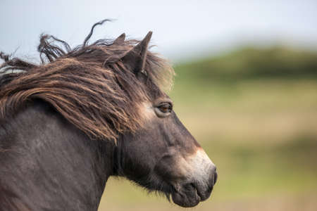 exmoor: Wild Exmoor Pony Stock Photo
