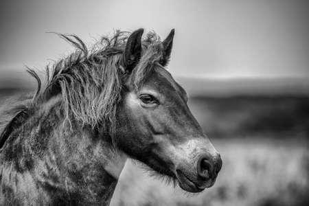 Wild Exmoor Pony Stock Photo