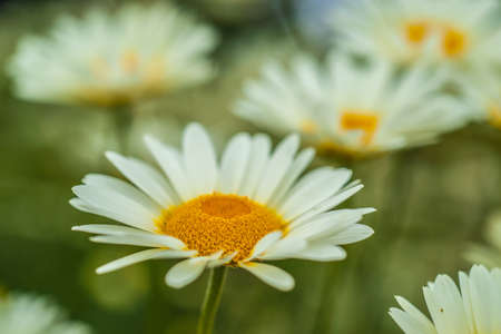 white daisies: White daisies chamomiles