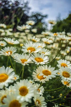 White daisies chamomiles