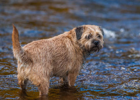 Border Terrier Dog standing in a stream.