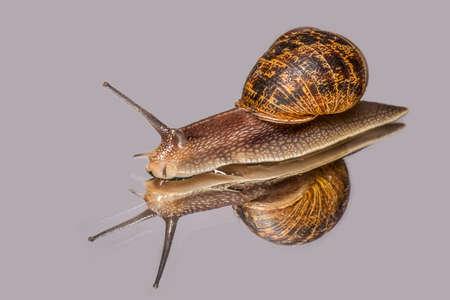 Large Garden Snail on a Mirror : Cornu aspersum