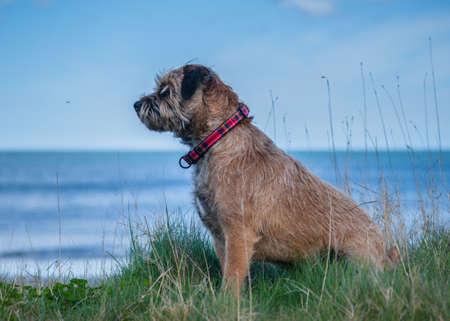 Border Terrier Dog Stock Photo