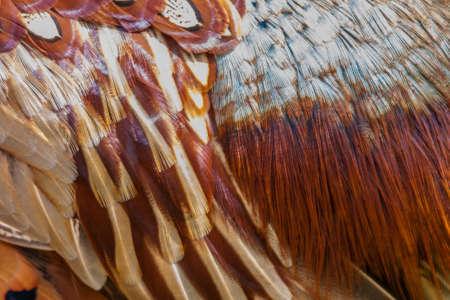 Male Pheasant  Phasianus colchicus In vivid breeding colours.