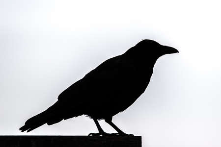Silhouette Of A Raven Stock Photo