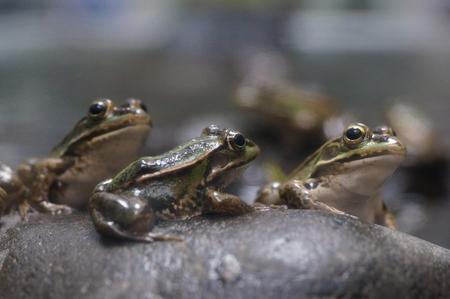 Three Frogs Stock Photo